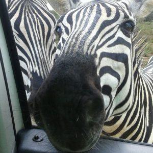 Zebra's on Safari in South Africa