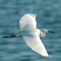 Flying Egret Kanoni Corfu