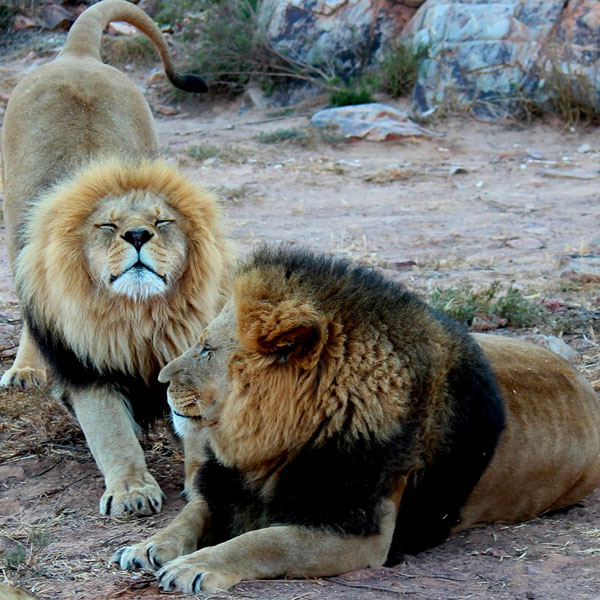Lions in South Africa on Safari