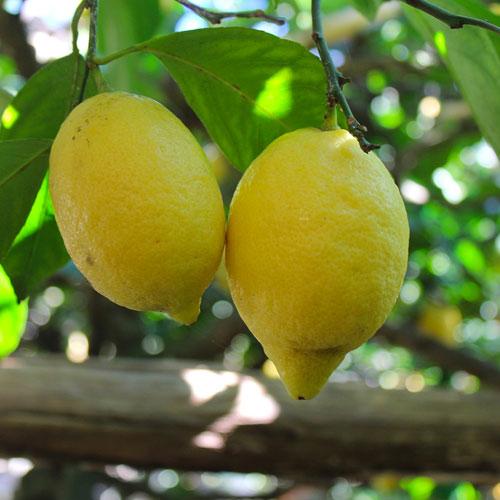Tour to Amalfi Coast Ravello's lemons