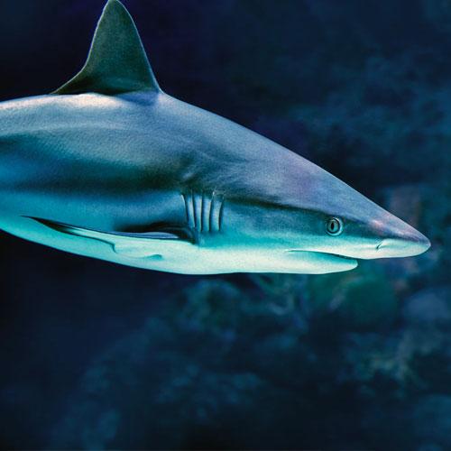 Cretaquarium shark