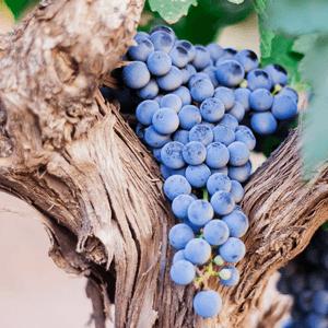 blue grapes vineyard Valencia