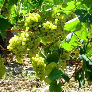 grapes in vineyard Spain