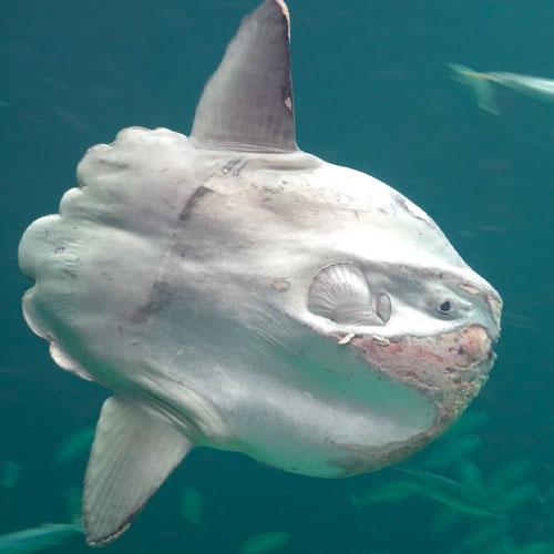 mola mola aquarium lisbon