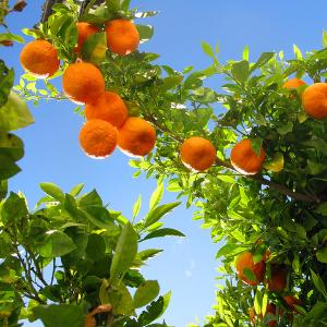 orange tree Soller
